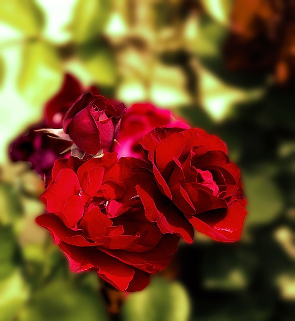 Roses red red roses, nature landscapes.