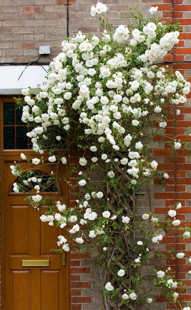 Roses rose flowers, nature landscapes.