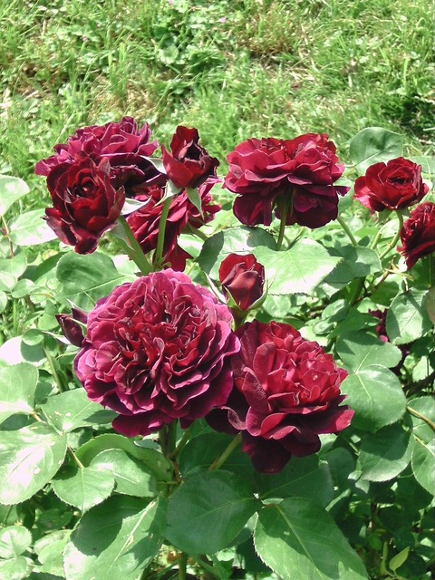 Roses trade cant austin, nature landscapes.