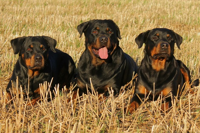 Rottweiler dog dogs, animals.