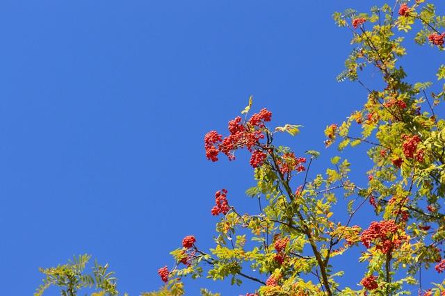 Rowan sky berry, food drink.