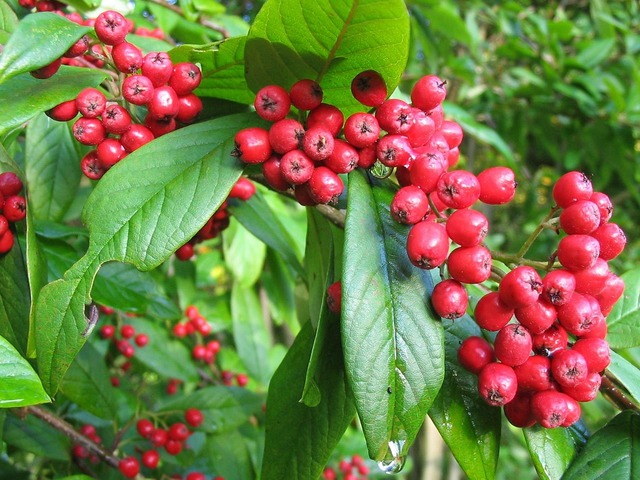 Rowan tree berries red, nature landscapes.