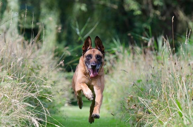 Running dog motion recording malinois, emotions.