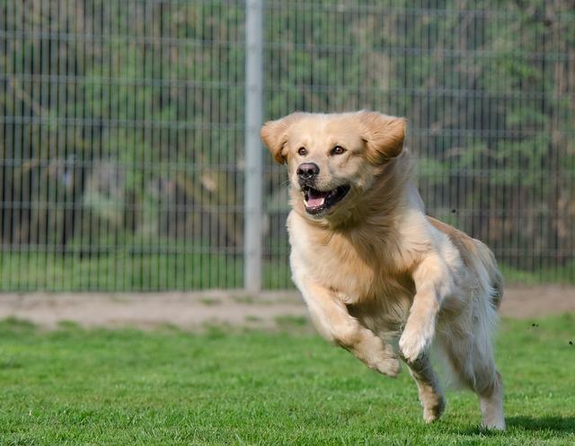 Running dog retriever long coat, animals.