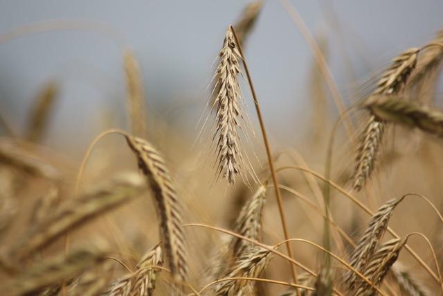 Rye grain cereal.
