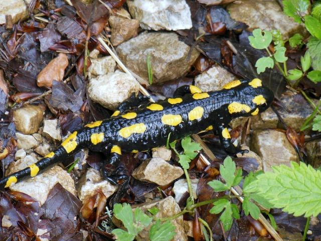 Salamander lizard mountains.