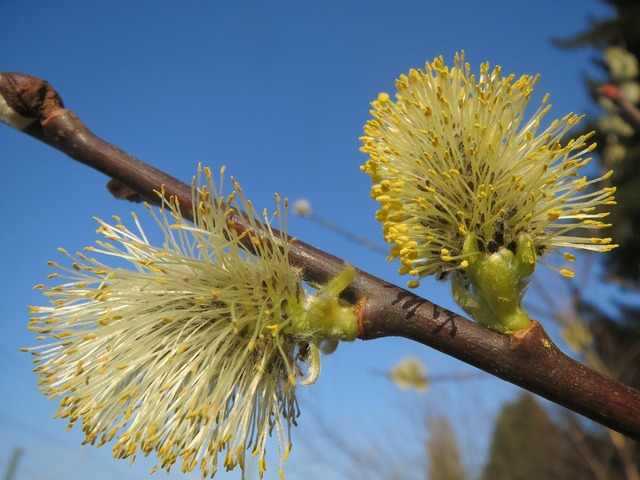 Salix caprea goat willow pussy willow, nature landscapes.