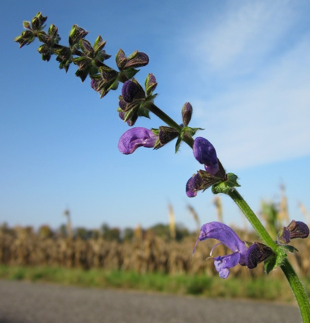 Salvia pratensis meadow clary meadow sage, nature landscapes.