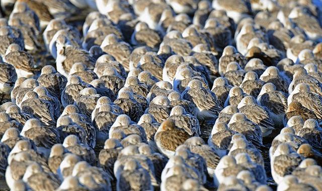 Sanderlings birds cuxhaven, travel vacation.
