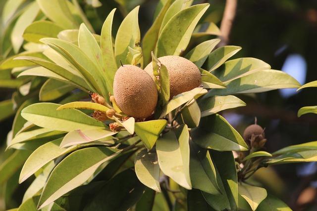 Sapodilla chiku fruit, food drink.