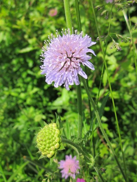Scabiosa columbaria wildflower flora, nature landscapes.