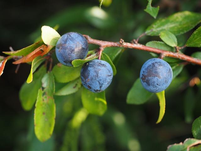 Schlehe berries blue, food drink.