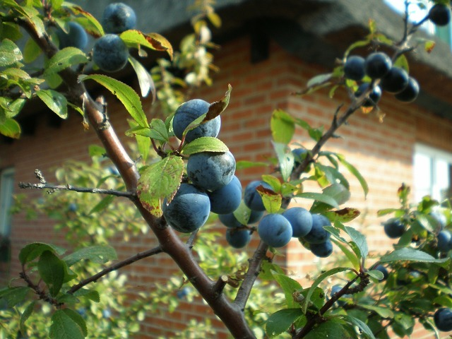 Schlehe wild fruit bush, food drink.