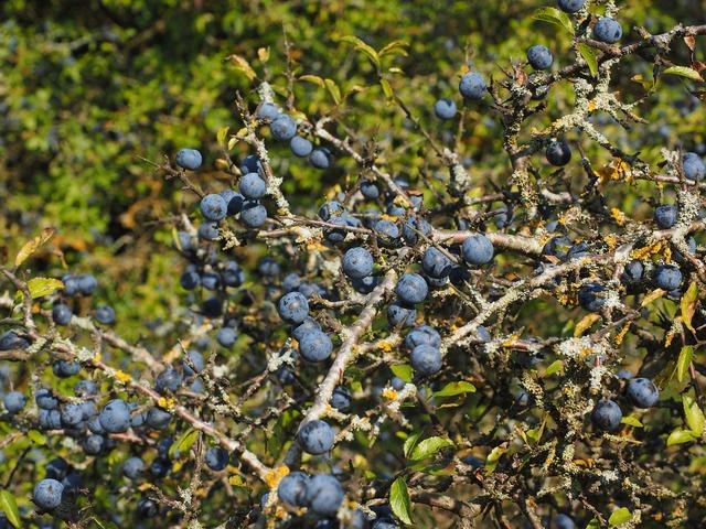 Schlehenbeeren schlehe berries, food drink.