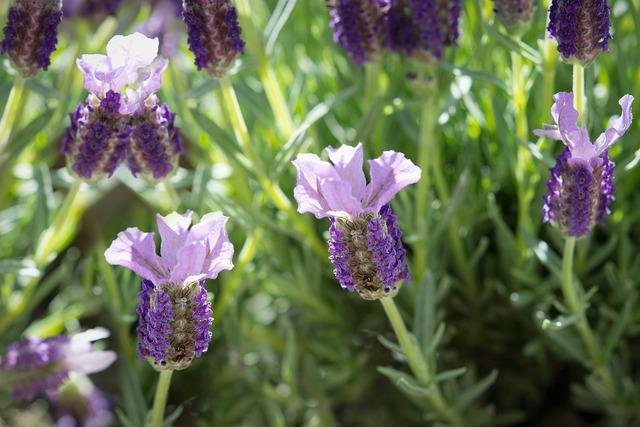 Schopf lavender lavender flowers, nature landscapes.