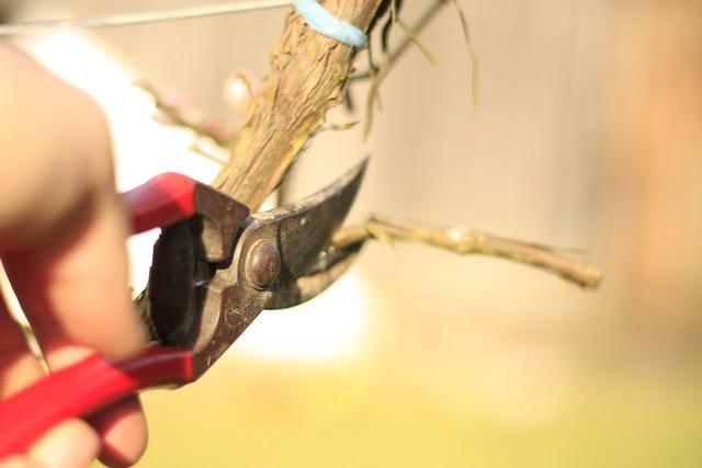Scissors grape-vine vineyard, industry craft.