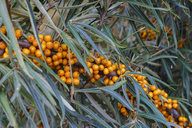 Sea-buckthorn berry closeup, food drink.