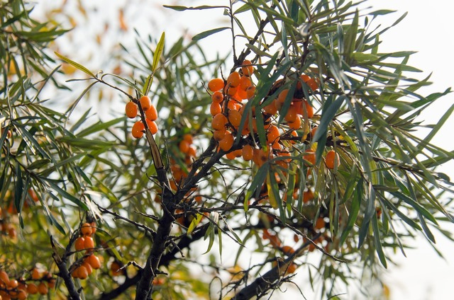 Sea ​​buckthorn shrub berry, food drink.