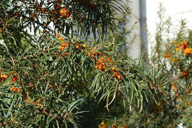 Sea-buckthorn shrub berry, nature landscapes.