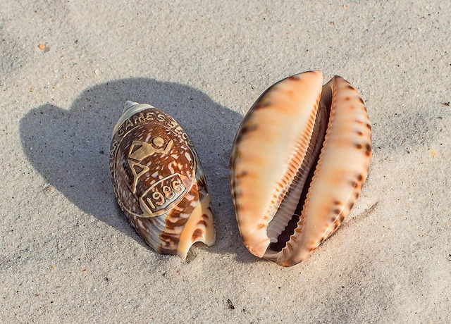 Sea shells souvenir beach, travel vacation.