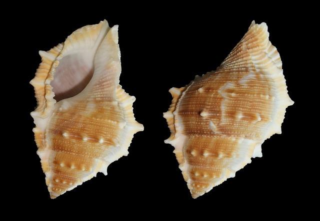 Sea snail snail bufonaria perelegans.