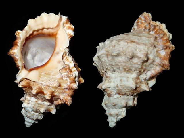 Sea snail snail tutufa bufo.