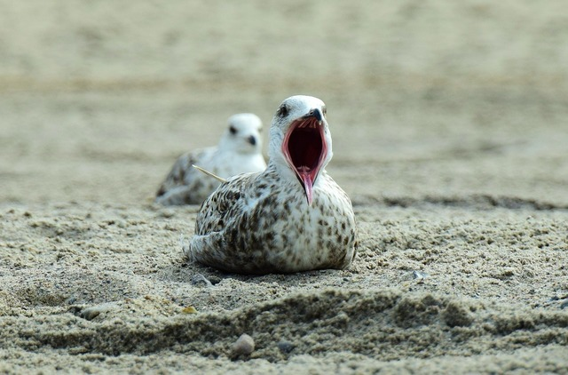 Seagull beach yawn, travel vacation.