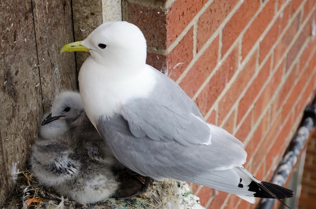 Seagull chicks birds, people.