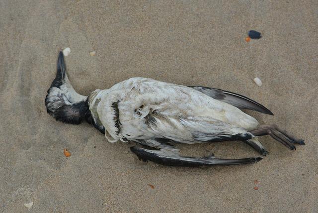 Seagull dead bird bird, animals.