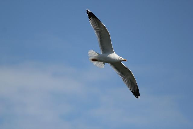 Seagull flight free image.