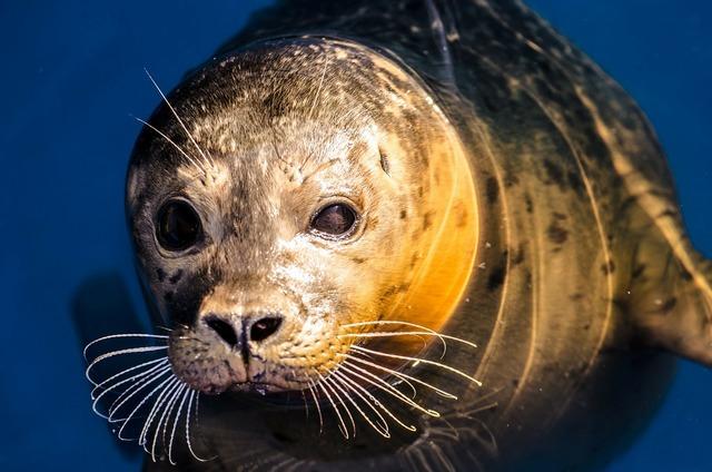Seal grey animal, animals.
