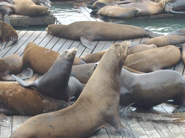 Seals walruses bay.
