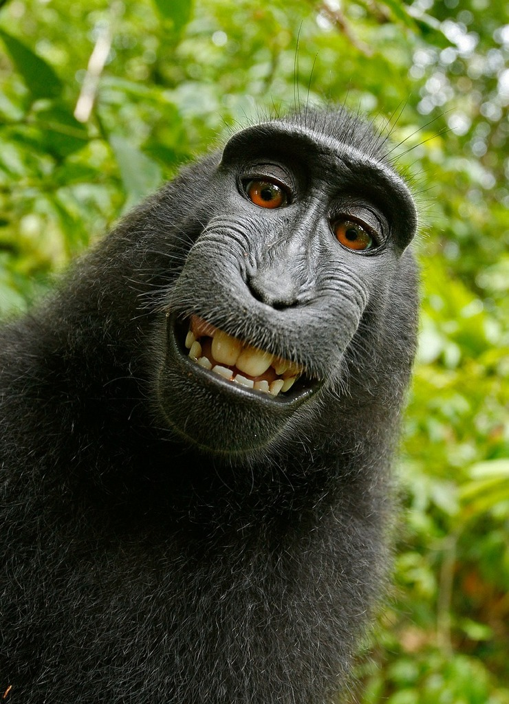 Selfie monkey self portrait, animals.