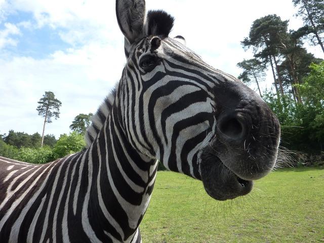 Serengeti park zebra curious.