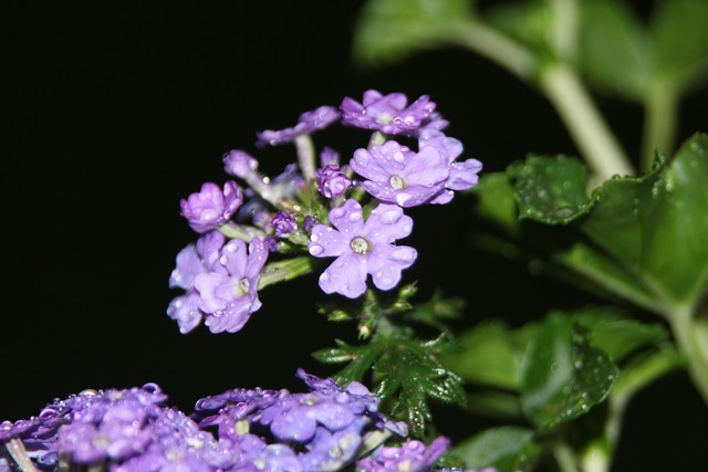 Serfina flowers purple, nature landscapes.