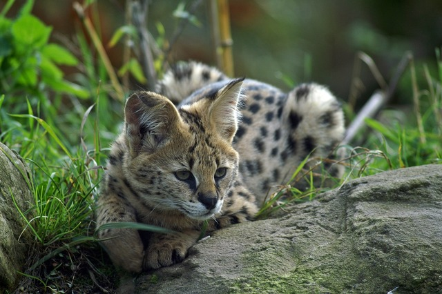 Serval small cat wildcat.