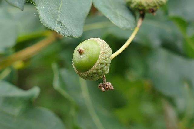 Sessile oak fruit young, food drink.
