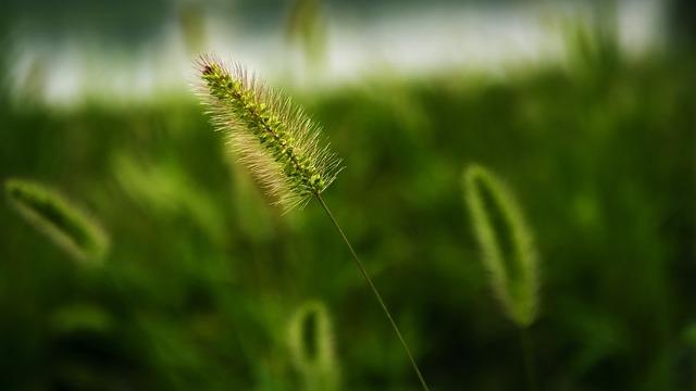 Setaria viridis grass plant, nature landscapes.