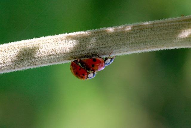 Sex ladybug beetle, animals.
