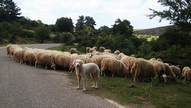 Sheep dog transhumance, animals.