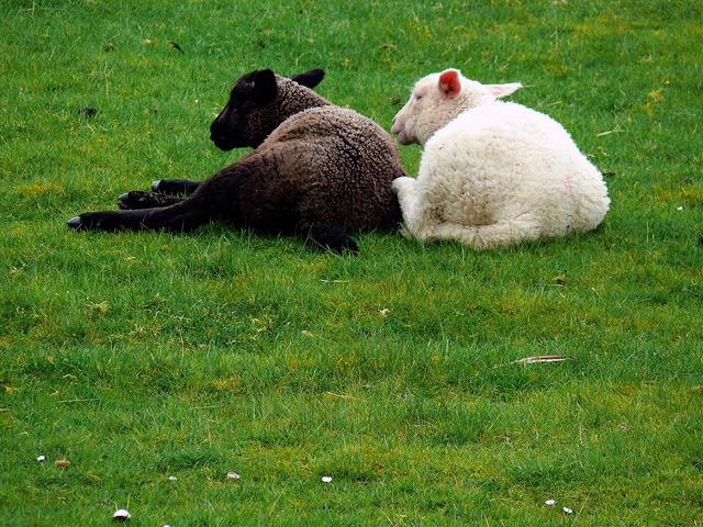 Sheep fur grass, animals.