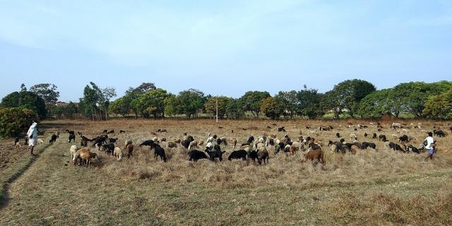 Sheep grazing pastures, animals.