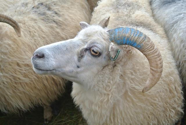 Sheep herding shepherding may.