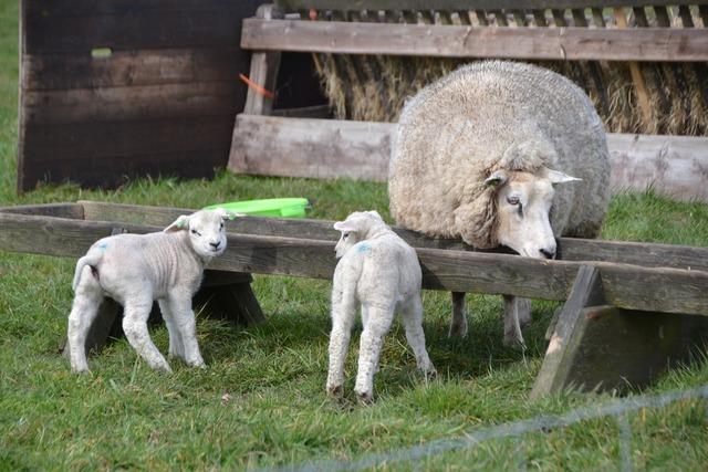 Sheep lamb animal, animals.