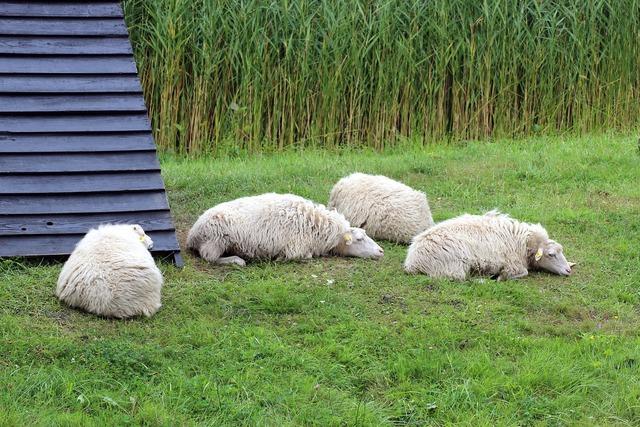 Sheep meadow pasture, animals.