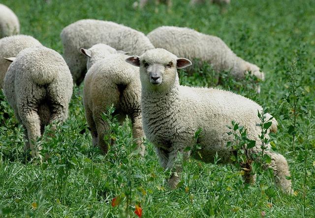 Sheep new zealand grass.