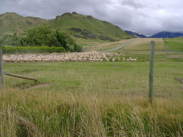 Sheep new zealand new.