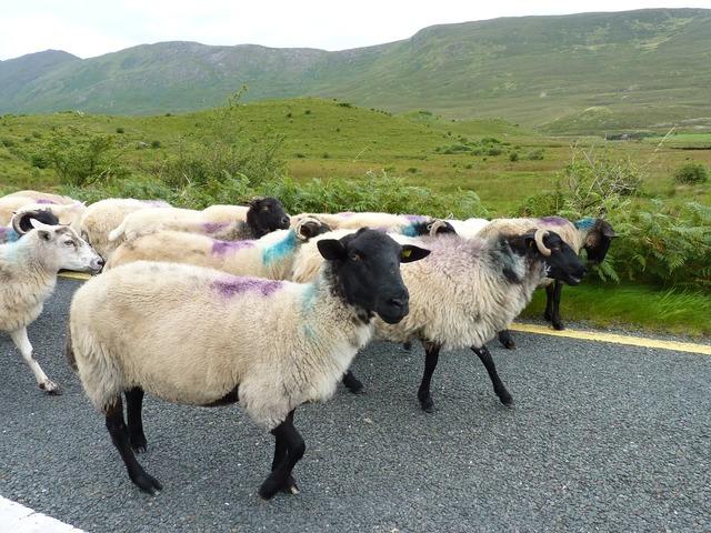 Sheep road flock, transportation traffic.