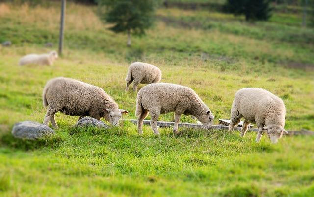 Sheep summer pasture.