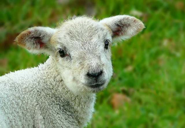 Sheep wool animal, animals.